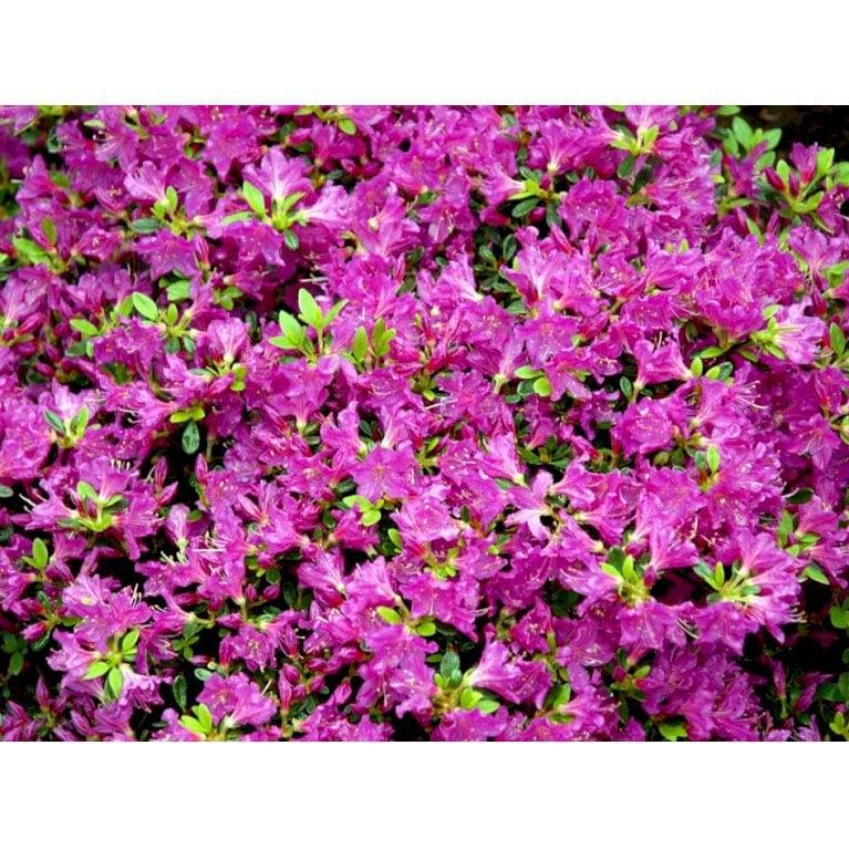 Japansk Azalea 'Purpurtraum'