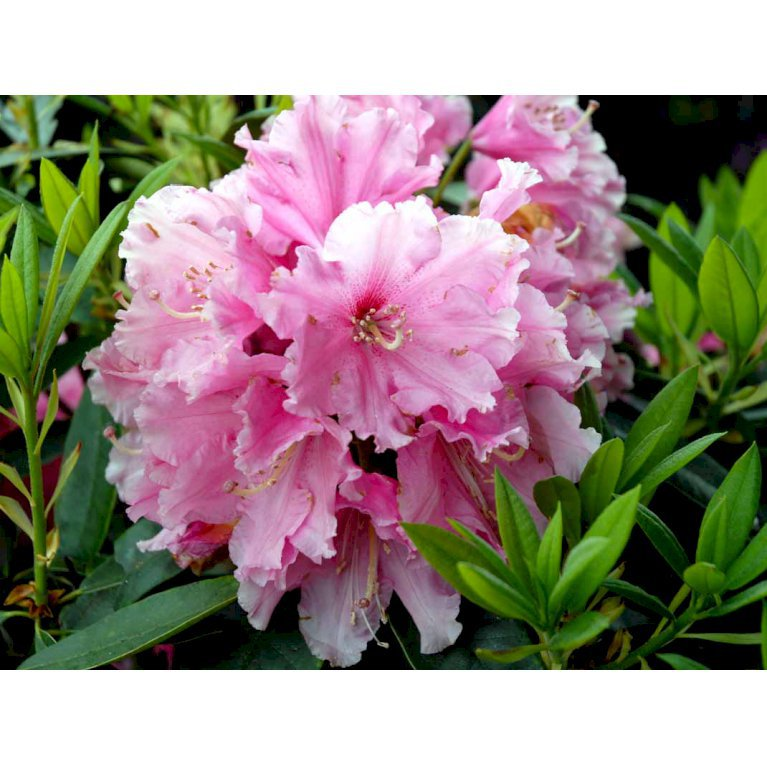 Rhododendron 'Rosa Perle'