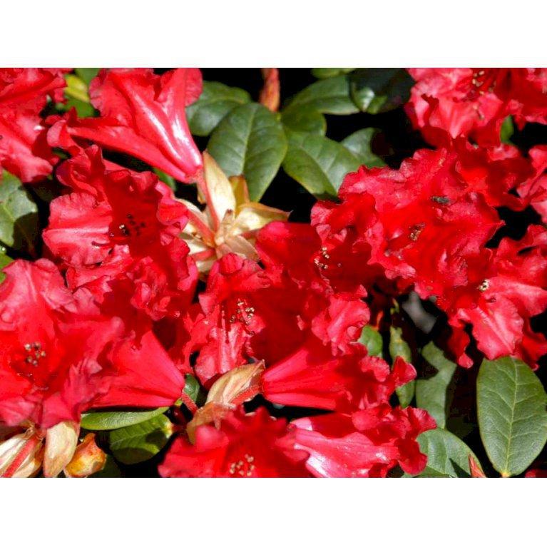 Rododendron 'Scarlet Wonder'