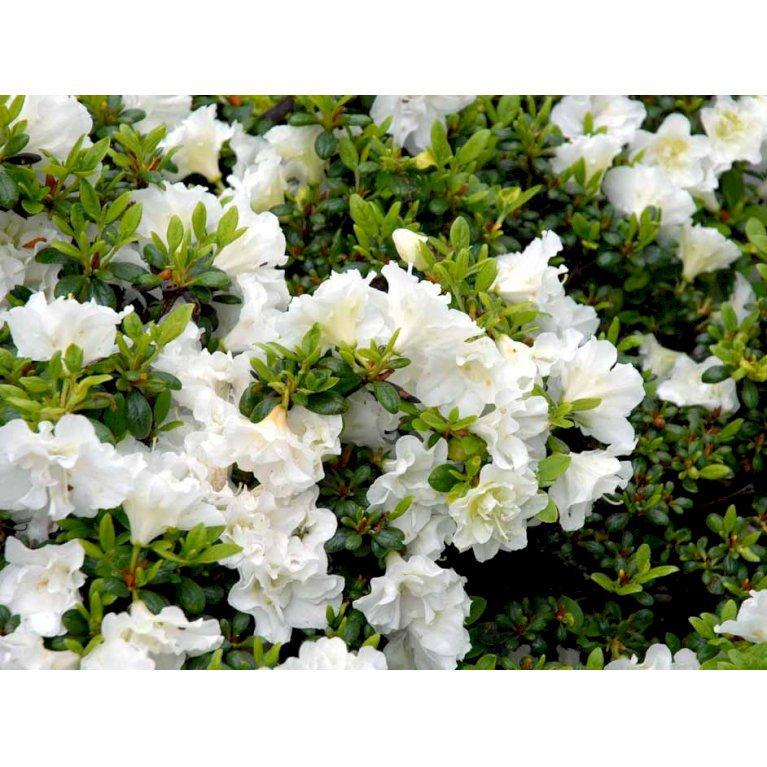 Rhododendron 'Schneeperle'