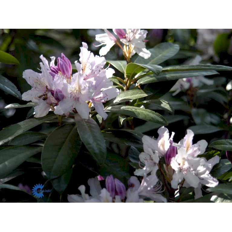 Rhododendron 'September Charm'