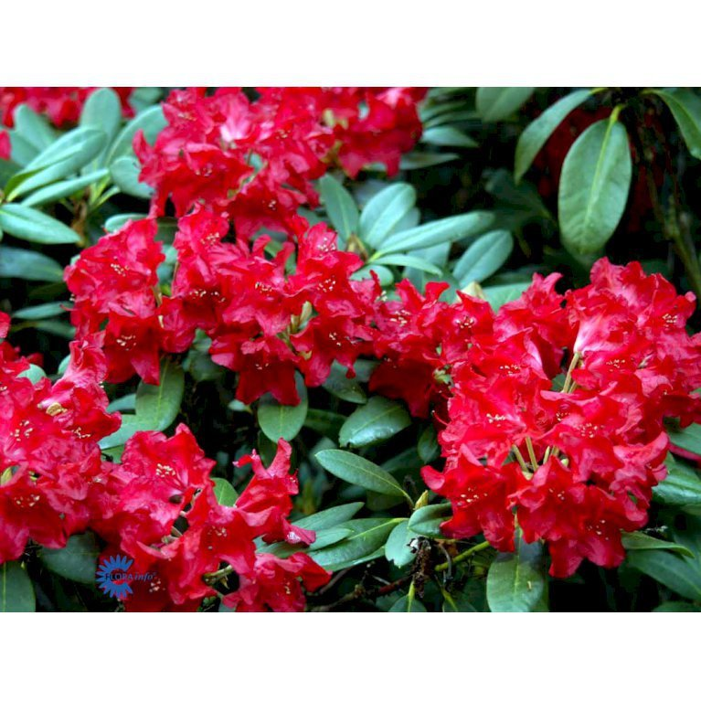 Rododendron 'Small Wonder'