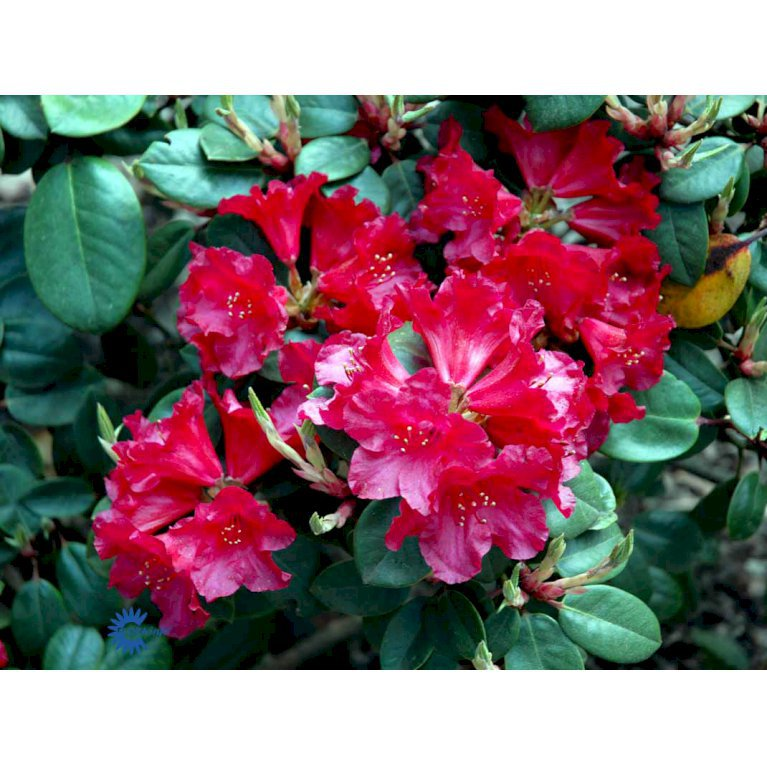 RHODODENDRON 'TROMBA'
