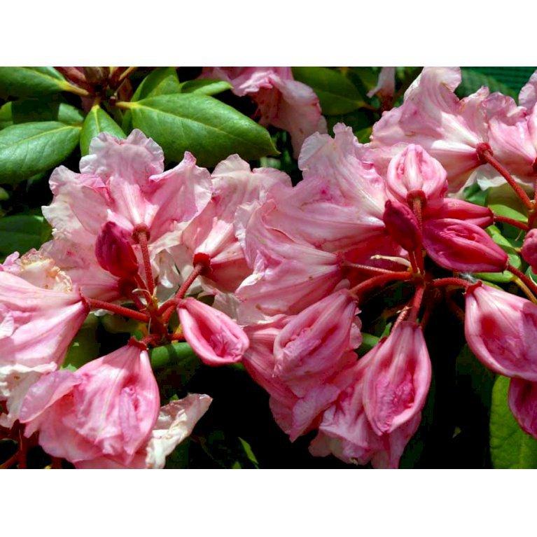 Rhododendron 'Virginia Richards'