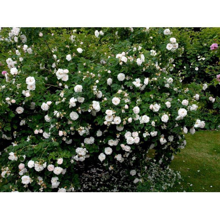 Historisk rose 'Alba Maxima'