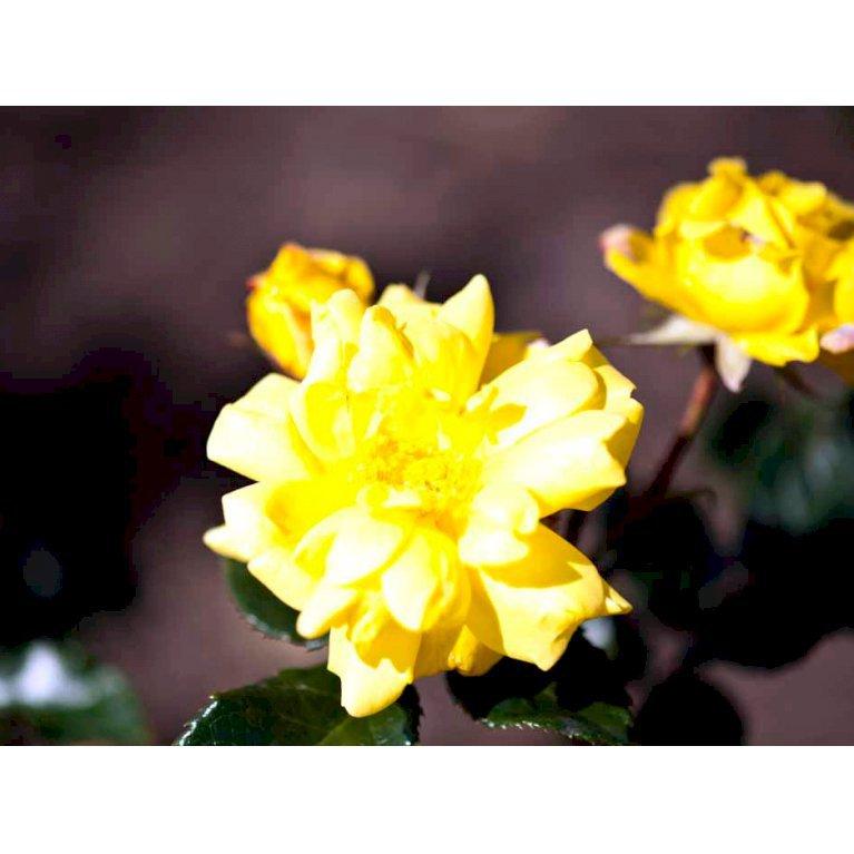 Buketrose 'Allgold'