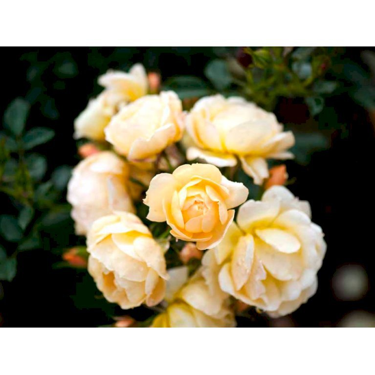 Bunddækkende Rose 'Amber Cover'