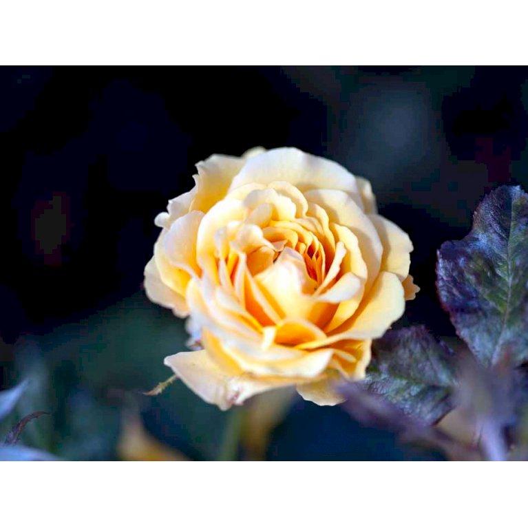 Buketrose 'Amber Queen'