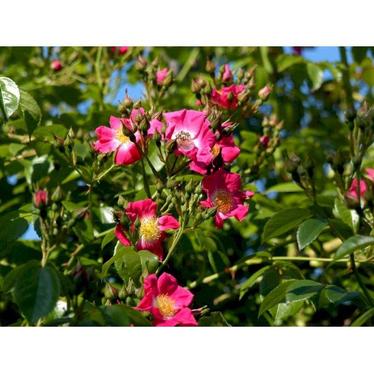 Historisk Rose 'American Pillar'