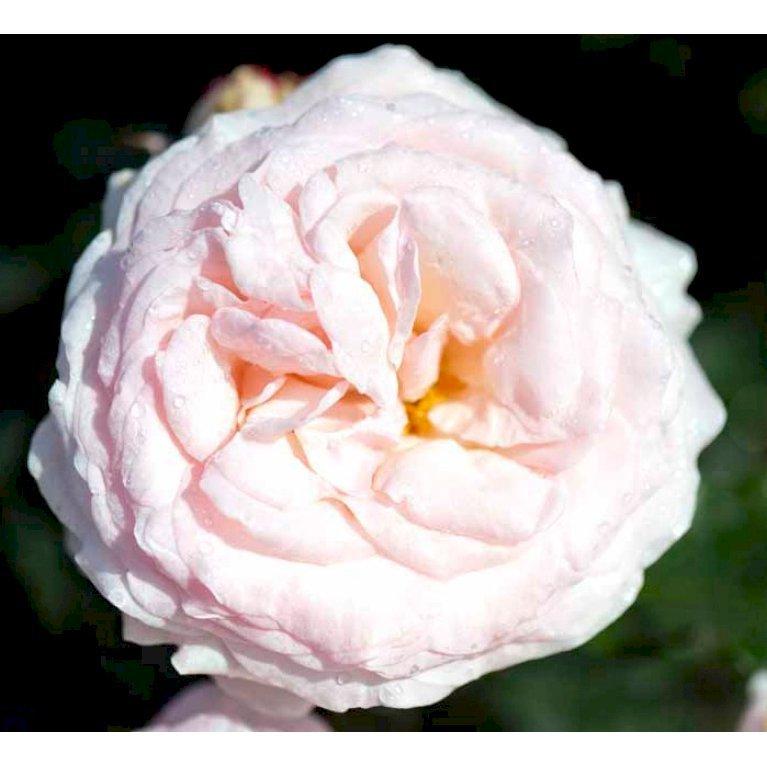 Renaissancerose 'Amie'