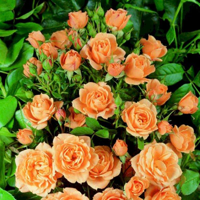 Buketrose 'Apricot Clementine'