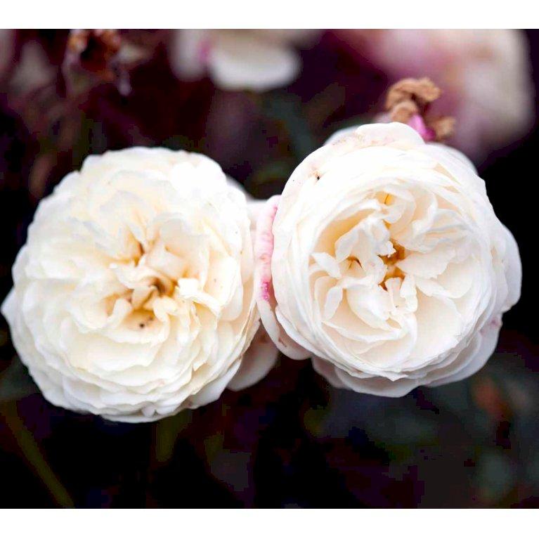 Rosa 'Artemis' (r) (tansimetra)