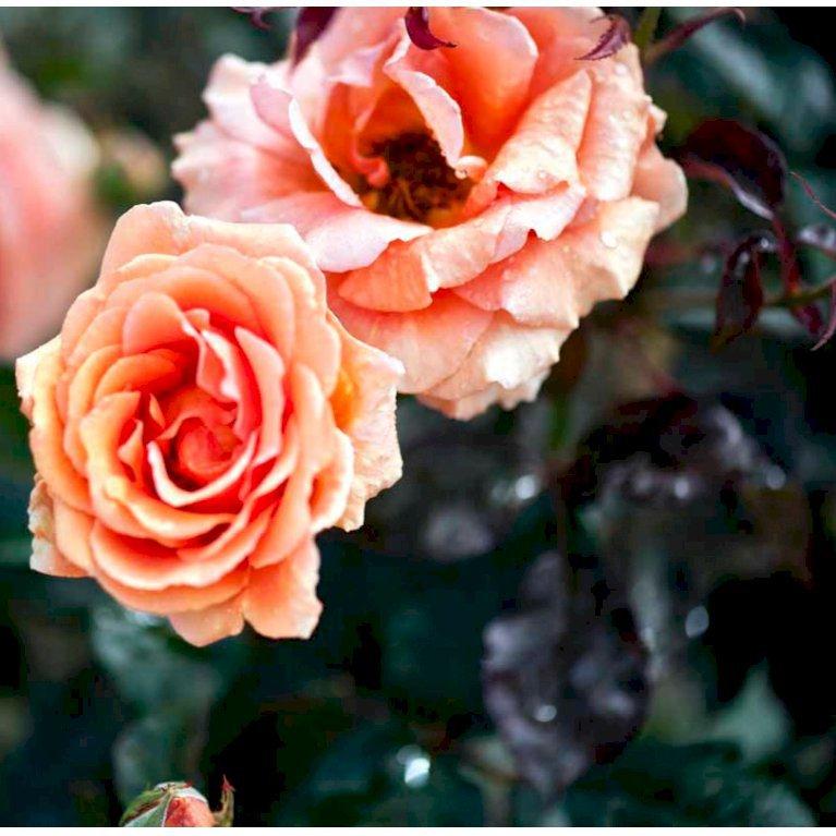 Storblomstrende Rose 'Ashram'