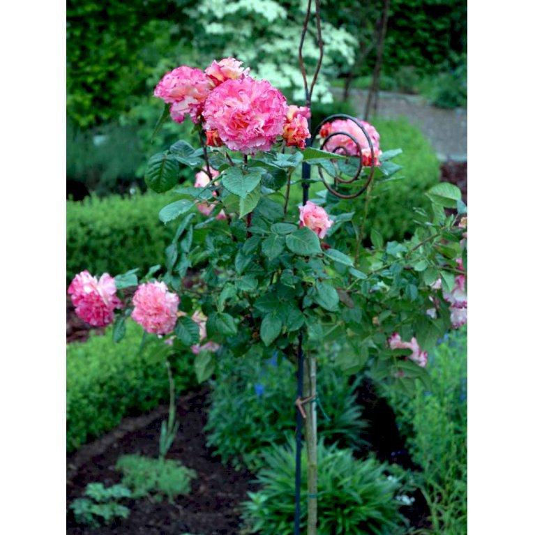 Storblomstrende rose 'Augusta Luise'