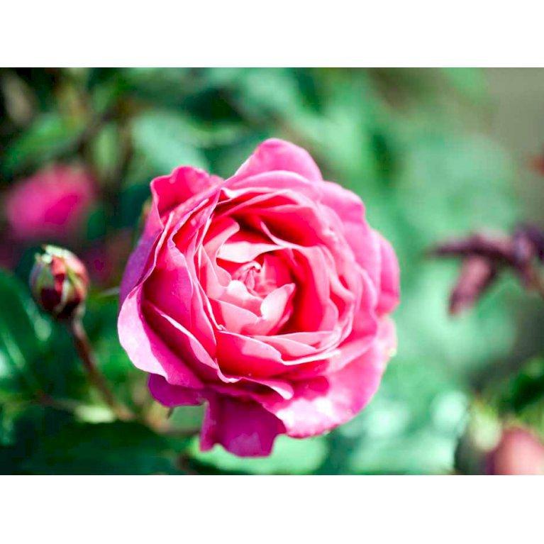 Renaissance rose 'Aya Renaissance'