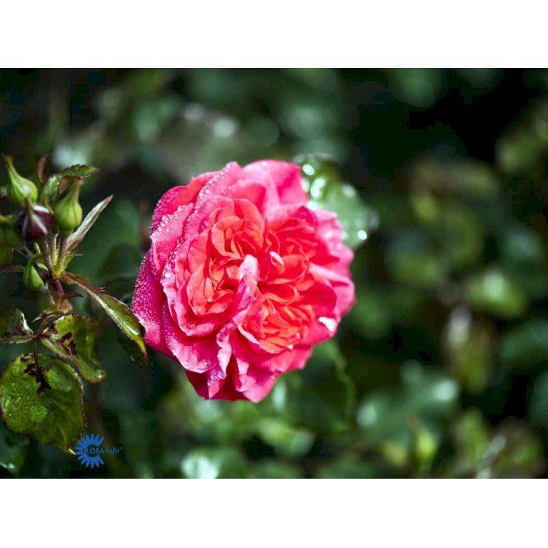 Renaissancerose