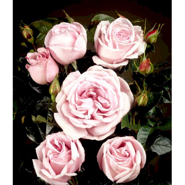 Renaissance rose 'Bering Renaissance' ®