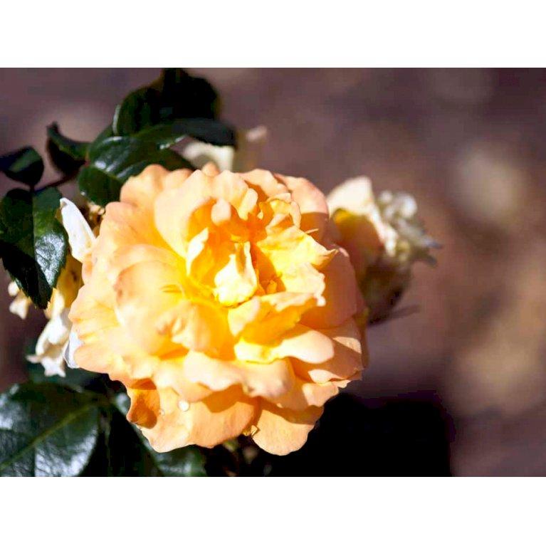 Buketrose 'Bernstein Rose'