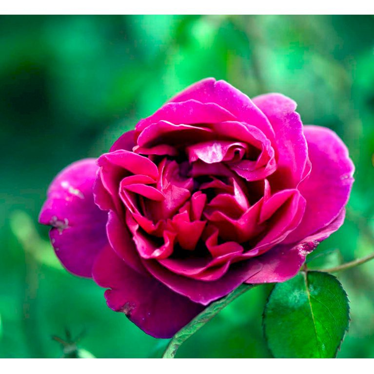 Storblomstrende rose 'Blackberry Nip'