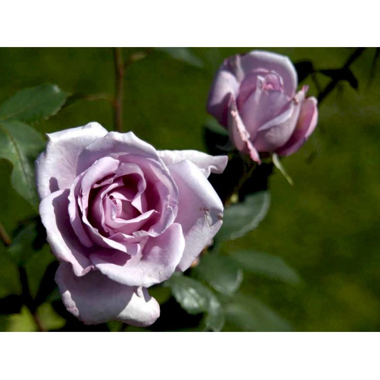 Storblomstrende Rose 'Blue Moon'