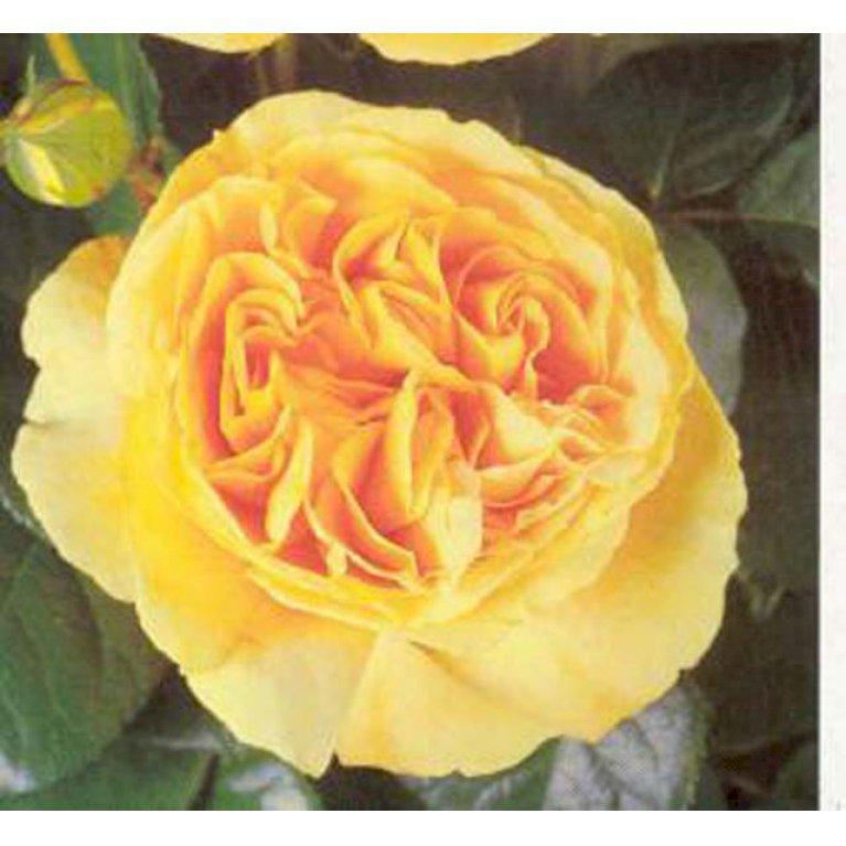Storblomstrende rose 'Candlelight'