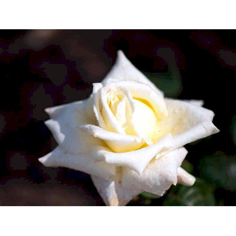 Storblomstrende Rose 'Caroline de Monaco'