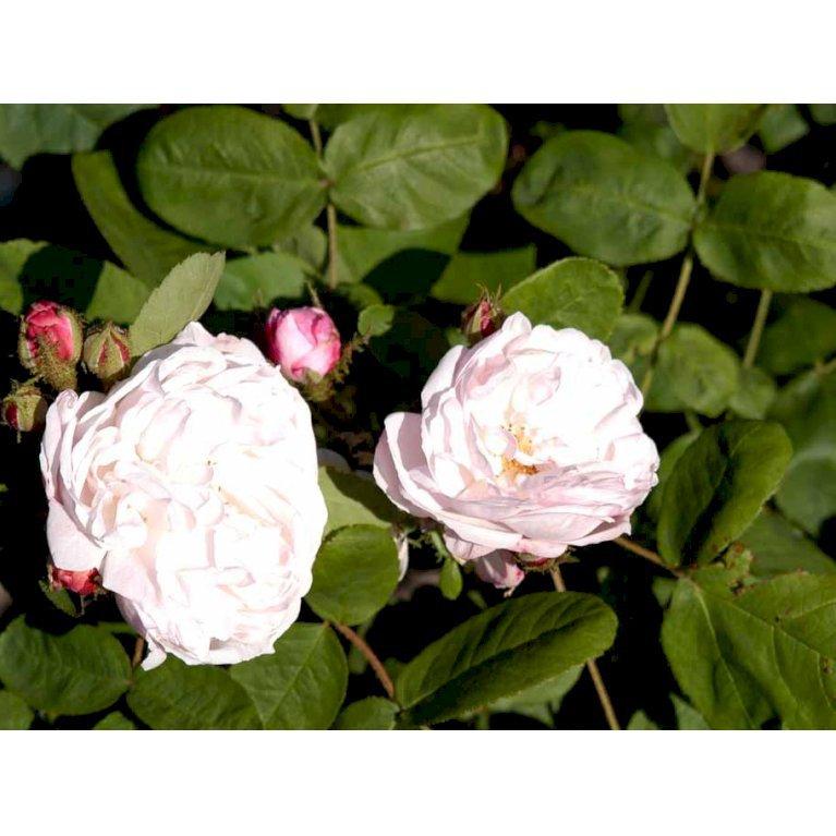 Centifoliarose