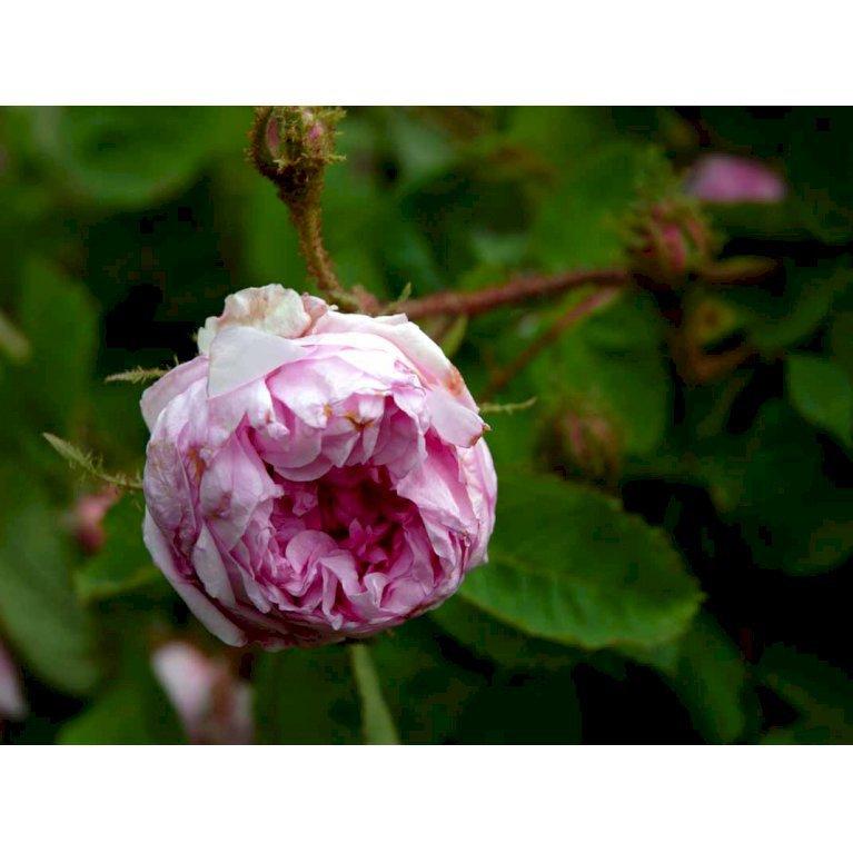 Gammeldags Rose 'Salet'