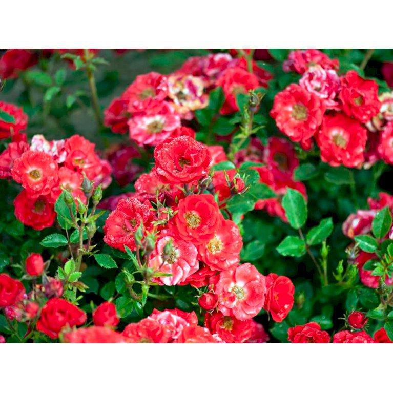 Bunddækkende Rose 'Charming Cover'