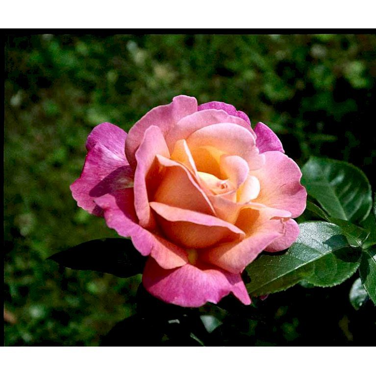 Storblomstrende Rose 'Chicago Peace'