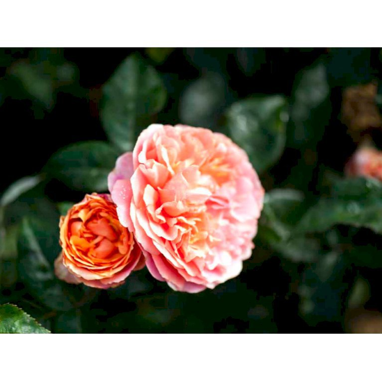 Storblomstrende rose 'Chippendale'