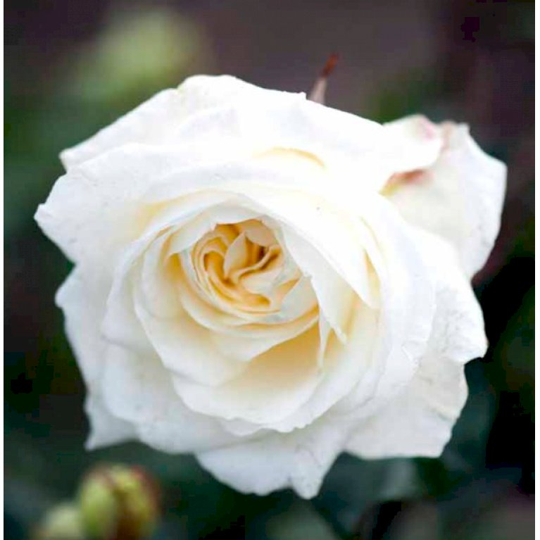 Storblomstrende rose 'Claus Dalby'