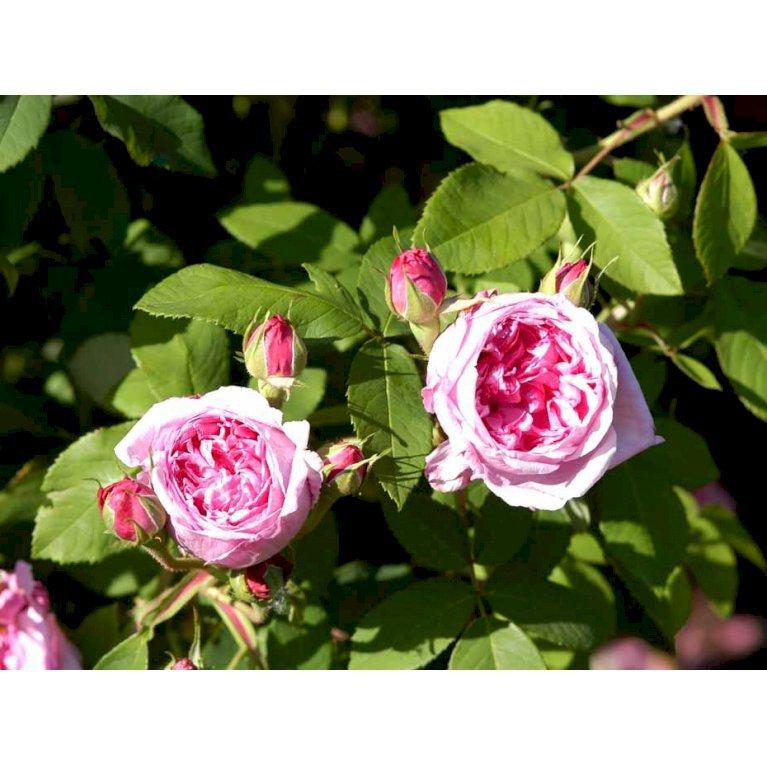 Gammeldags Rose 'Comte de Chambord'