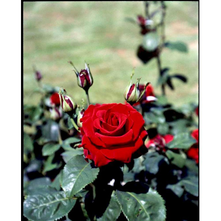 Storblomstrende Rose 'Courage'