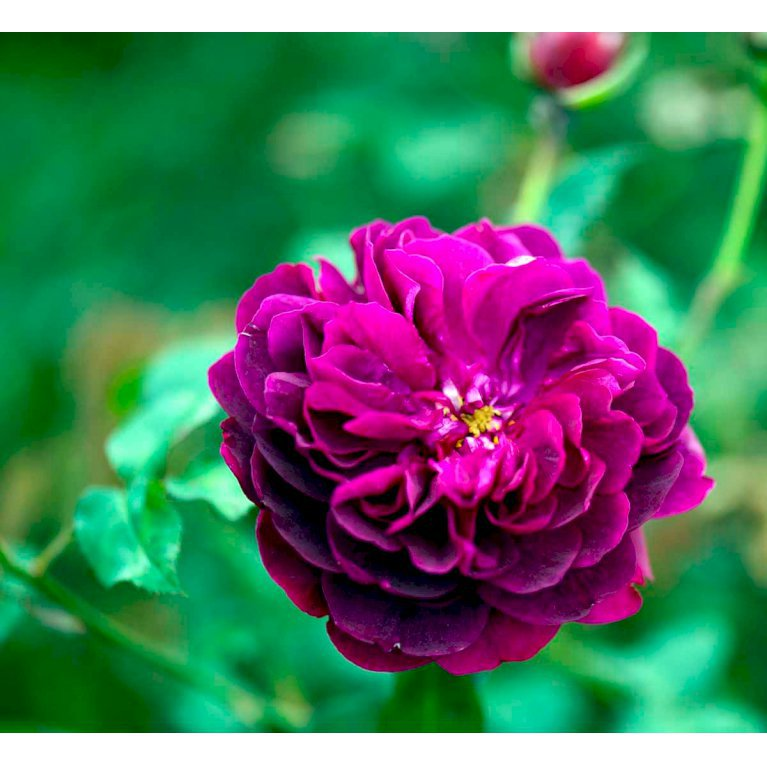 Austin 'Darcey Bussell'