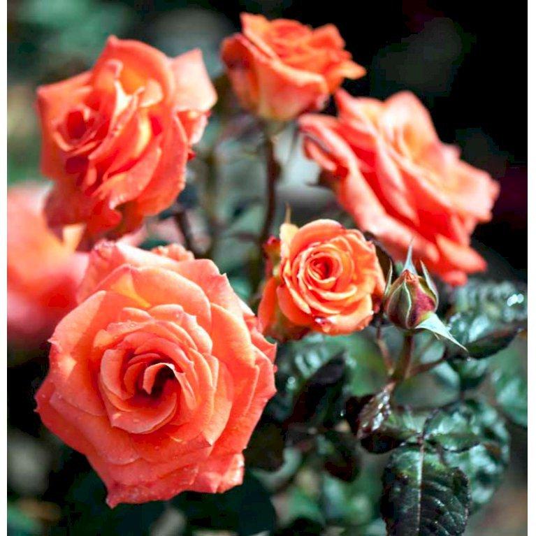 Storblomstrende Rose 'Dronning Ingrid'