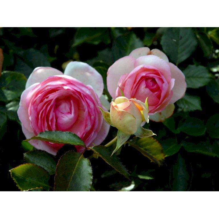 'Eden Rose 88'