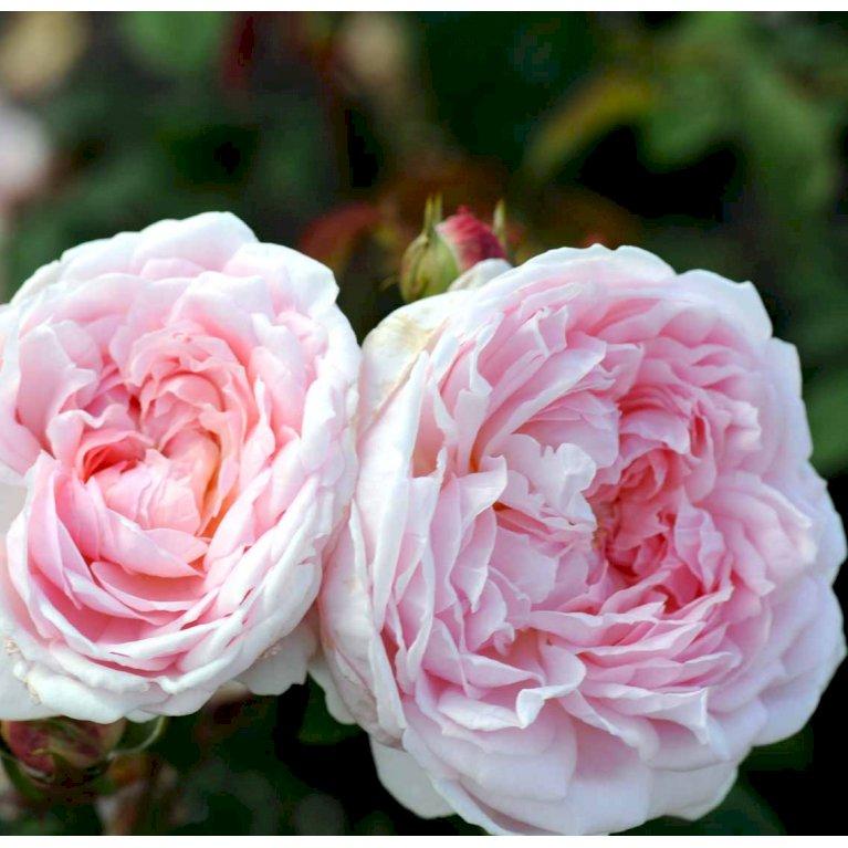 Engelsk rose 'Eglantyne' ®