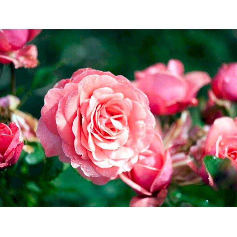 Storblomstrende rose 'Elaine Paige'