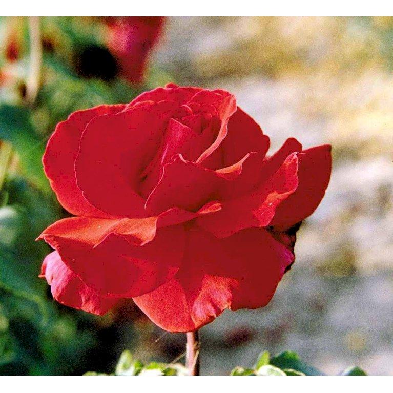 Storblomstrende Rose 'Erotika'