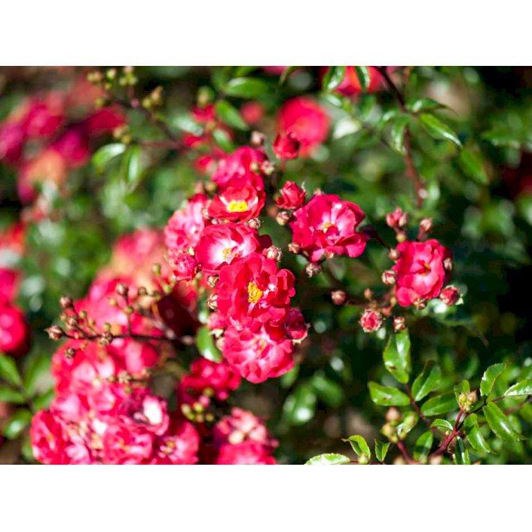 Bunddækkende rose 'Fairy Dance'