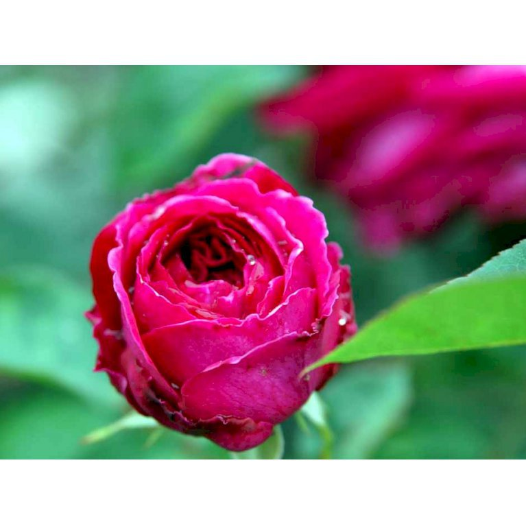 Austin rose 'Falstaff'