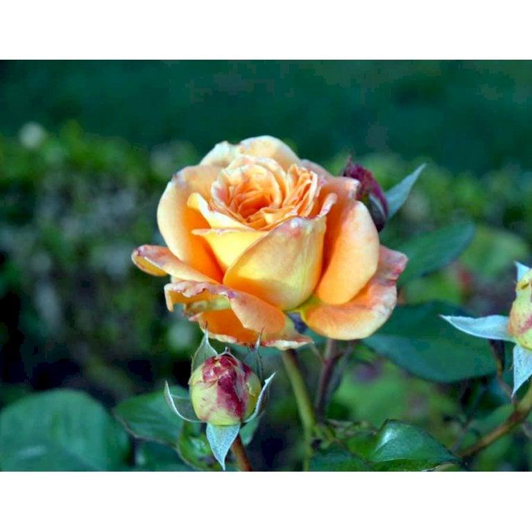Storblomstrende Rose 'Flora Danica'