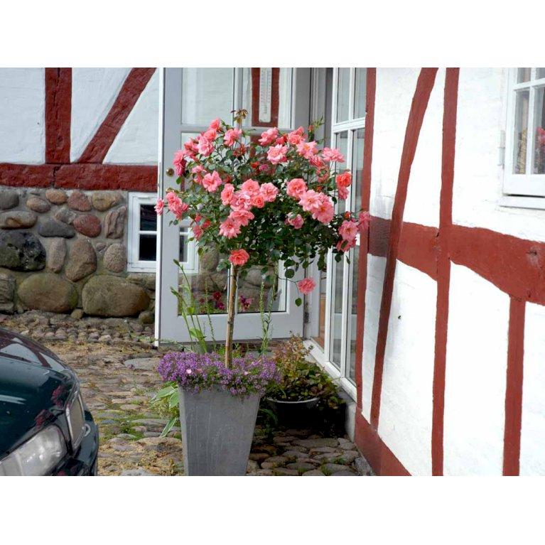 Slotsrose 'Fredensborg'