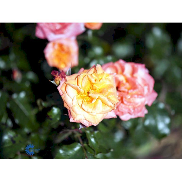 Storblomstret rose