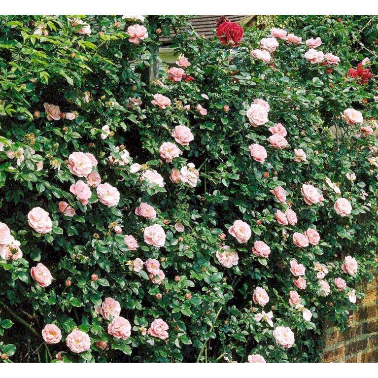Gammeldags Rose 'Gerbe Rose'