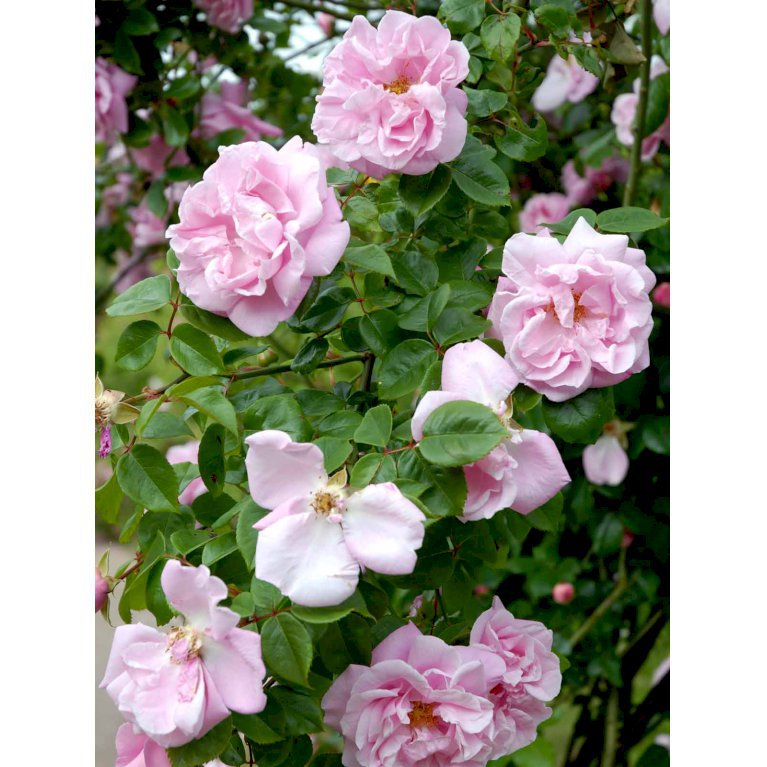 Gammeldags Rose 'Gerbe Rose'