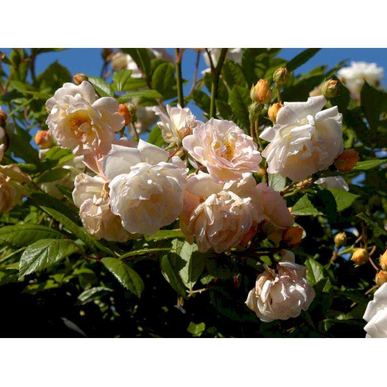 Gammeldags Rose 'Ghislaine de Féligonde'
