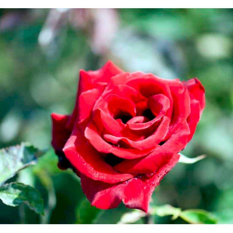 Storblomstrende Rose 'Gisselfeld'