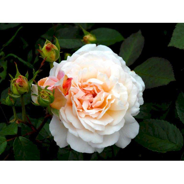 Gammeldags Rose 'Gruss an Aachen'